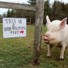 Esther the Wonder Pig – From Mini Pig to Mega Star