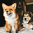 Juniper The Happiest Fox with 1.2 Million Followers