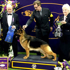 Westminster Kennel Club Dog Show Winners 2017