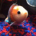 Goldfish Needs Help Swimming, gets Tiny Custom Wheelchair