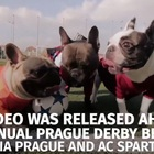 French Bulldogs Playing Soccer for Disabled Dog Charity (VIDEO)