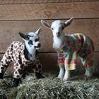 Baby Goats in PJs Frolicking in Colorful Onsies… YES! (With Video)