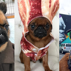 Top 10 Famous Brussels Griffon's on Instagram