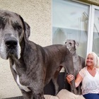 Meet Freddy, the world's tallest dog at over 7 feet, 6 inches