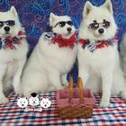 All Samoyed Barbershop Quartet Good Boy Group makes waves in the a cappella scene