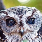 The story of Zeus: The blind owl with stars in his eyes