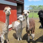 Forget goat yoga, alpaca dance classes are the hottest fitness trend of the summer