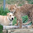 Kumbali and Kago, an adorable unlikely animal friendship