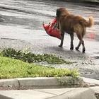Looting dog Otis takes advantage of Hurricane Harvey to score kibble