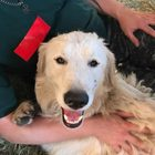 Hero dog Odin survives wildfire, saving 8 baby goats and a few deer while he's at it