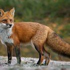 Insomniac makes Twitter thread grading foxes, regrets it almost immediately.