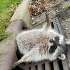 Chubby raccoon stuck in sewer drain is too relatable