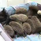 Cat adopts orphaned hedgehog babies proving that love knows no bounds