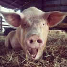 Piglets challenge each other to twerk-off and shake their bacon