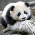 In honour of Panda day, here's a ton of cuddly videos