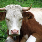 Cow Escapes Slaughterhouse, Breaks Farmers Arm, Smashes Through Metal Fence, and Escapes by Swimming to an Abandoned Island