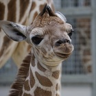 Baby Giraffe Escapes Zoo, Leads Wild Chase Around Parking Lot