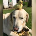 Dog Adopts Nine Duckling Orphans
