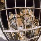 Five Rescued Circus Tigers Find New Home, Free At Last