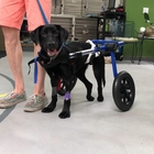 Abandoned Dog Has No Idea He's Paralyzed, Looking For A Home