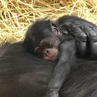 Baby Chimp Born on National Chimp Day Named After Iconic Scientist
