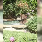 Only in Cali: Chill Bear Sips Margarita While In Jacuzzi