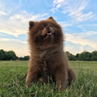 Bertram the Pomeranian Runs New York's Art Scene