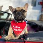 French Bulldog The Mayor of Kentucky Town