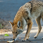Vancouver Stanley Park Coyote Attacks Increase