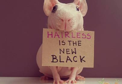 Ludwik The Hairless Nude Guinea Pig Model With over 160K Followers