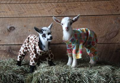 Baby Goats in PJs Frolicking in Colorful Onsies... YES! (With Video)