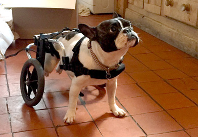 Wheelchair Dog Runs Faster Than Regular Dogs at the Park, Wins The Race to our Hearts