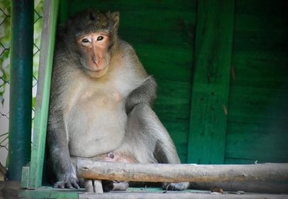 Miraculous Recovery Thailand Monkey Shot in the Face with a Metal Arrow Survives