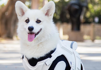 This Corgi Stormtrooper is the Cutest Member of the Imperial Army