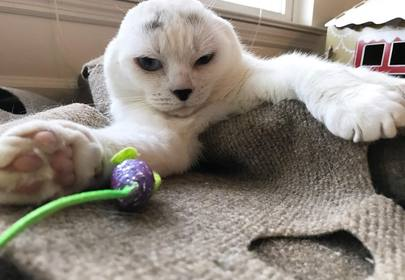Kitty (Otitis) who lost his ears finds new home and thousands of Instagram followers