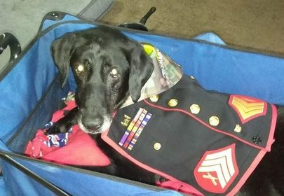 Hero Doggo: US Marine Cena served 3 tours in Afghanistan, gets tearful sendoff after terminal cancer