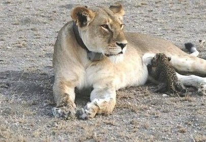 Wild lioness adopts baby leopard cub, a mothers love knows no bounds