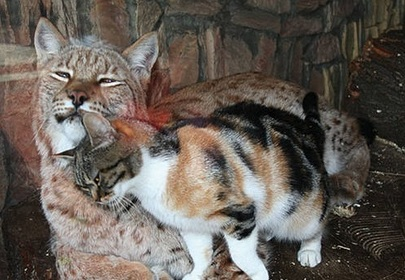This cat and lynx couple prove love can be found anywhere