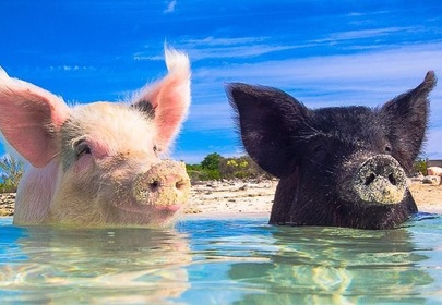 These tropical swimming pigs are your new vacation goals