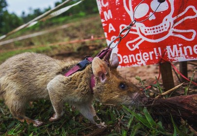 Hero Rats sniff out bombs and disease, making the world a better place