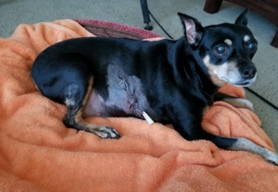 Plump pup's extra weight saves her from bear attack