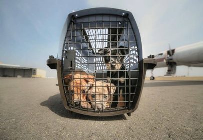 Wings of Rescue airlifts rescued animals out of Puerto Rico, devastated by Hurricane Maria