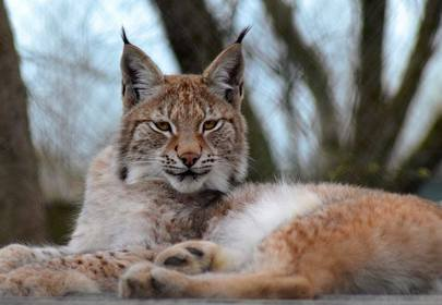 Lillith the elusive Lynx still at large, eludes zoo keepers and vacations on countryside
