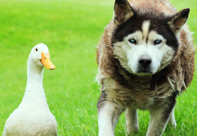 Max and Quackers, an unlikely animal friendship guaranteed to melt your heart