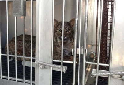 Thanksgiving miracle: bobcat survives 60 mile trip in car grille