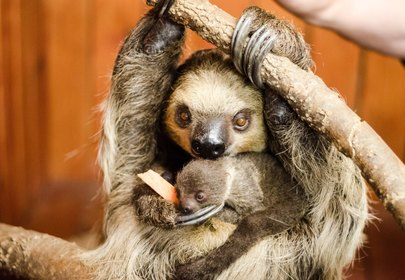 Baby Sloth born in case of surprise pregnancy!