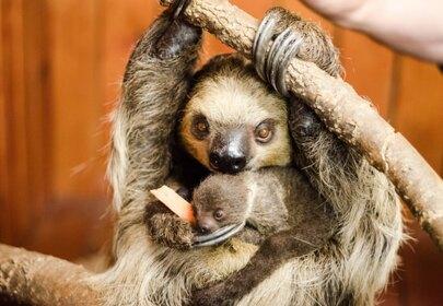 Baby Sloth born in case of surprise pregnancy!