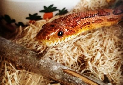 Spaghetti the Snake got a Christmas surprise and it's the cutest