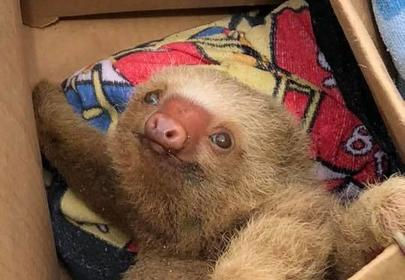 Baby Sloth Rescued In Costa Rica