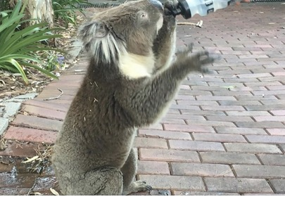 Australia's so hot right now even the Koala's are feeling it